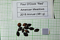 Four O'Clock red seeds from American Meadows. Image taken with a Fuji X-H1 camera and 80 mm f/2.8 macro lens + 1.4x teleconverter