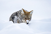 Coyote (Canis latrans) hunting in deep snow during winter in Yellowstone National Park