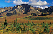 Falls colors in Denali National park with spruce trees, blue sky, white clouds and shadows.