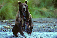 USA, Vereinigte Staaten Von Amerika: Alaskabraunbär (Ursus arctos middendorffi) Kodiakbär verfolgt in einem kleinen Fluss auf den Kodiak Island einen Lachs, Kodiak Wildlife Refuge, Alaska | USA, United States Of America: Brown bear (Ursus arctos middendorffi), Kodiak bear running after a salmon in a small river on Kodiak Island, Kodiak Wildlife Refuge, Alaska, USA |