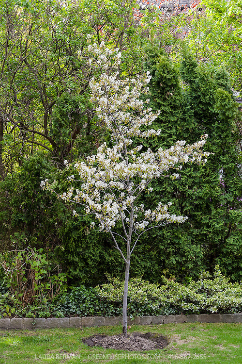 A Serviceberry tree filled with its small white flowers in early spring (Amelanchier canadensis)