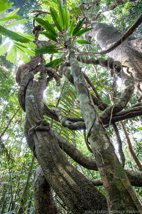 View into a tree laden with lianas and epiphytes in a lowland rainforest beside the Tambopata river, Peru