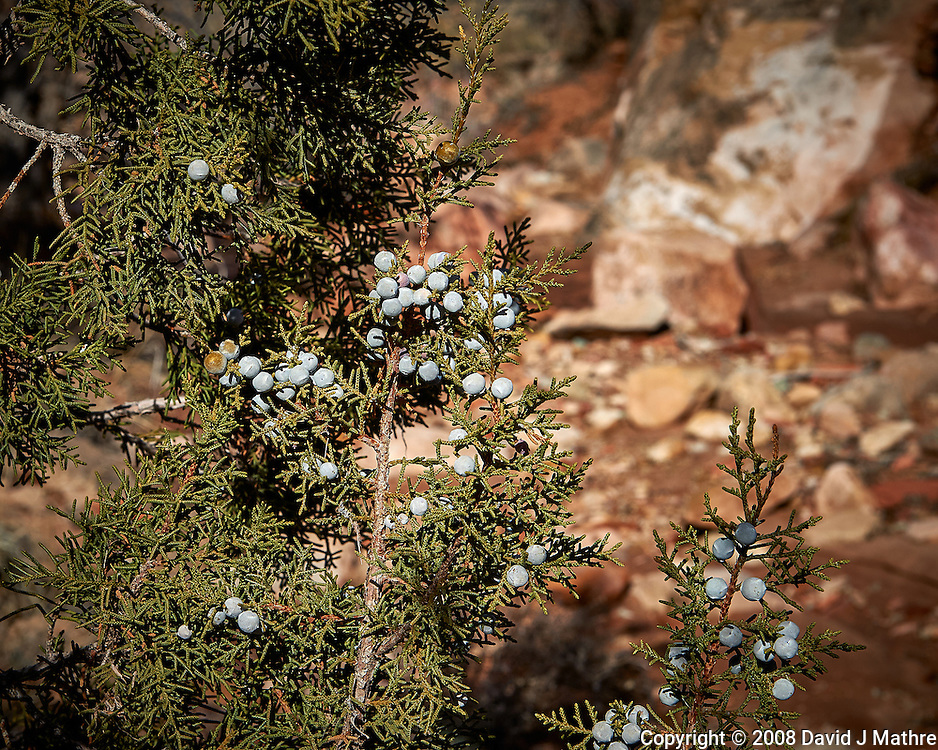 Juniper berries at Kelley's Place near Cortez, Colorado. Image taken with a Nikon D3 camera and 70-200 mm f/2.8 VR lens (ISO 200, 70 mm, f/11, 1/800 sec).