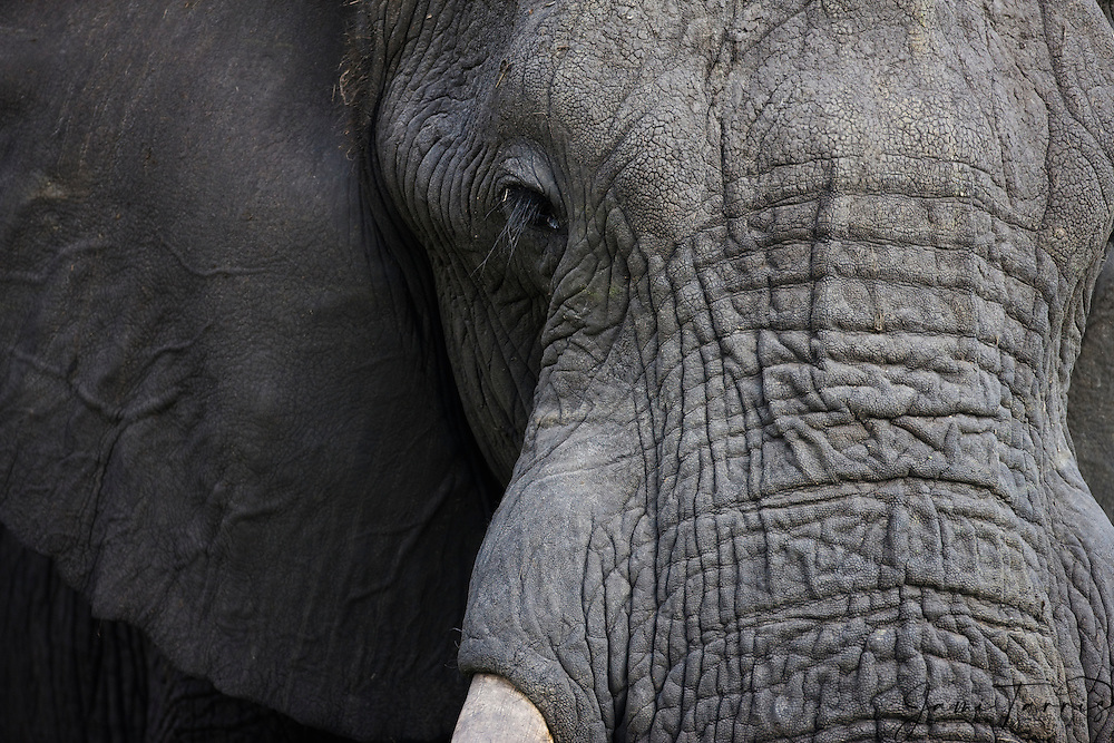 A large male African elephant bull ( Loxodonta africana ) portrait,close-up of face and wrinkled hide, Chobe National Park, Botswana, Africa