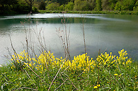 Yellow Mustard Flowers and Pond at Seed Savers Heritage Farm, Decorah, Iowa