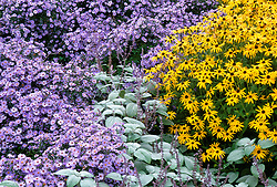 Plectranthus argentatus, Aster 'Little Carlow' and Rudbeckia fulgida var. deamii at Great Dixter