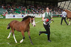 © Licensed to London News Pictures. 24/07/2018. Llanelwedd, Powys, UK. Winner of the 'Filly Foal' Class Section in the Main Ring on the second day of the Royal Welsh Agricultural Show. The Royal Welsh Agricultural Show is hailed as the largest & most prestigious event of its kind in Europe. In excess of 200,000 visitors are expected this week over the four day show period. The first ever show was at Aberystwyth in 1904 and attracted 442 livestock entries. Photo credit: Graham M. Lawrence/LNP