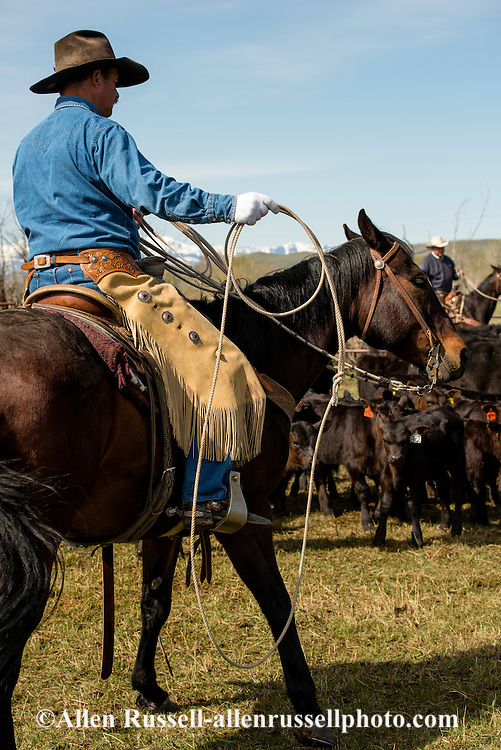 Cowboys, dragging calves to the fire, branding, Lazy SR Ranch, Wilsall, Montana, Dewey Zupan, MODEL RELEASED, PROPERTY RELEASED on rider and horse