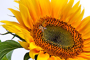 Sunflower with bee on white background
