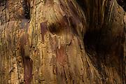 Yew tree bark (Taxus baccata). Druids Grove, Norbury Park, Surrey, UK.