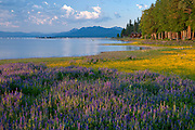Houses and condos along Lake Tahoe  with lupin fields and wildflowers.