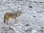 A Coyote passing through Lamar Valley inside Yellowstone National Park