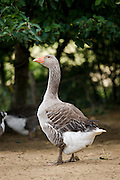 Grey goose used for Foie Gras near Sarlat, Perigord region, Dordogne, France