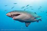 Sand Tiger Sharks, Carcharias taurus, hovers over the Caribsea shipwreck in the Graveyard of the Atlantic offshore the Outer Banks, North Carolina.