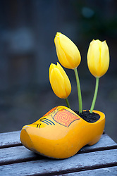 Yellow tulips growing in  yellow wooden Dutch clog