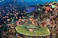 Unicornfish at a cleaning station, with hundreds of Anthias feeding in the background<br /> <br /> Shot in Indonesia