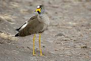African Wattled Lapwing or Senegal Wattled Plover (Vanellus senegallus) from  Maasai Mara, Kenya.