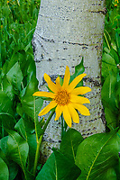 Northern Mule's Ears [Wyethia amplexicaulis] flower and aspen trunk; Kebler Pass, Gunnison National Forest, Colorado