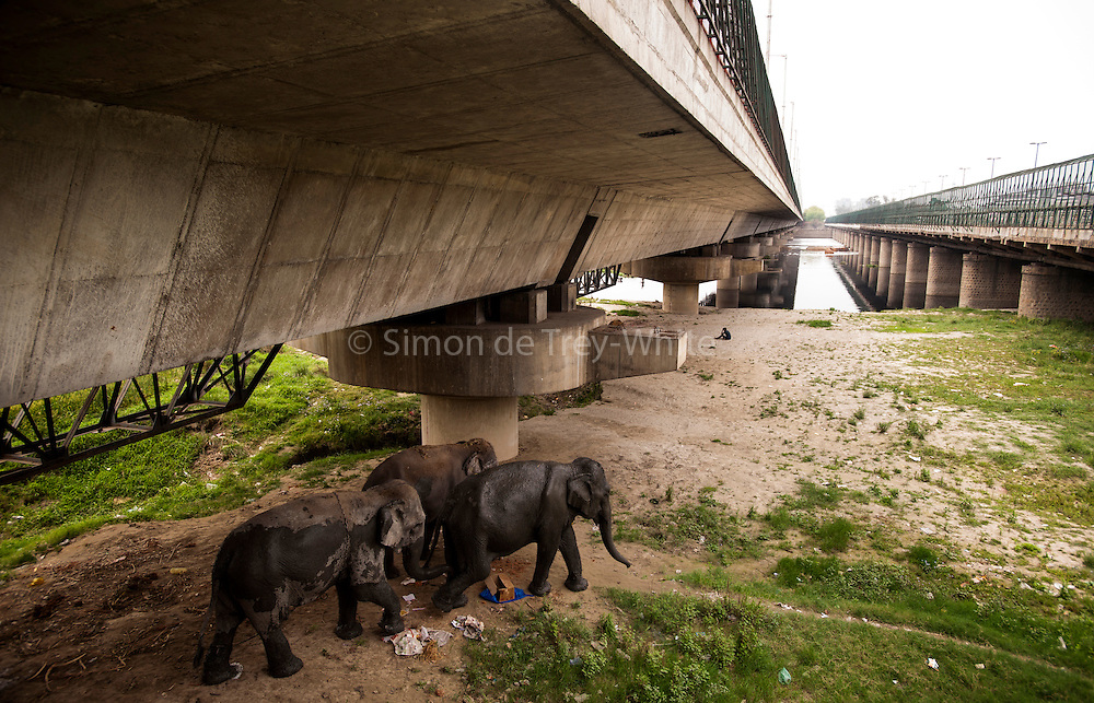26th March 2014, Yamuna River, New Delhi, India. Three female elephants walk towards the Yamuna river in  New Delhi, India on the 26th March 2014<br /> <br /> Elephant handlers (Mahouts) eke out a living in makeshift camps on the banks of the Yamuna River in New Delhi. They survive on a small retainer paid by the elephant owners and by giving rides to passers by. The owners keep all the money from hiring the animals out for religious festivals, events and weddings, they also are involved in the illegal trade of captive elephants. The living conditions and treatment of elephants kept in cities in North India is extremely harsh, the handlers use the banned 'ankush' or bullhook to control the animals through daily beatings, the animals have no proper shelters are forced to walk on burning hot tarmac and stand for hours with their feet chained together. <br /> <br /> PHOTOGRAPH BY AND COPYRIGHT OF SIMON DE TREY-WHITE<br /> + 91 98103 99809<br /> email: simon@simondetreywhite.com photographer in delhi