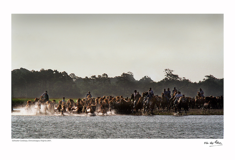 'Saltwater Cowboys' from Chincoteague Virginia, herd wild ponies from the Assateague Island Reserve to auction. The annual PonySwim has become a favorite of American festivals.