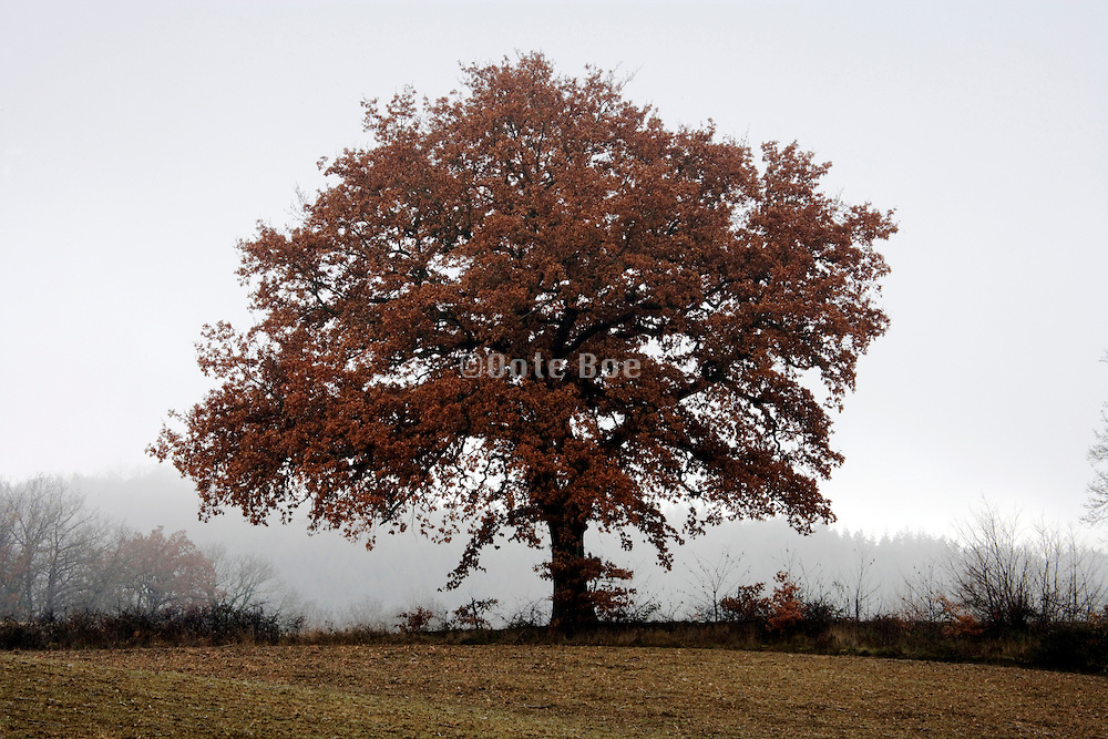 one tree during fall season against a foggy background
