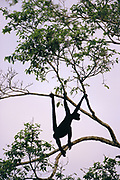 White-bellied Spider Monkey at Clay lick<br />