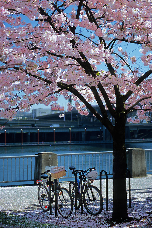Cherry trees bloom in March at the Memorial Garden, Tom McCall Waterfront Park, along the Willamette River in Portland.  Japanese American Historical Plaza.  Nikon F4; 70-300/4-5.6D. Fuji RVP100F.