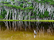 "A sea bird reflects in Tidal River at Wilson's Promontory National Park in the Gippsland region of Victoria, Australia. Natural tannins leach from decomposing vegetation and turn the water brown. ""The Prom"" offers natural estuaries, cool fern gullies, magnificent and secluded beaches, striking rock formations, and abundant wildlife. Drive two hours from Melbourne to reach Wilson's Promontory. Renting a camper van is a great way to see Australia with ""no worries"" about booking a bed. One night in the campground, our camper van rocked us awake in what we though was an earthquake. The rocking soon stopped and the dark shape of a wombat (a marsupial ""bear"") wandered off into the night from underneath the van, where he had been licking our tasty sink drain! Around the campground, we were also delighted to see wallabies and the Common Brushtail Possum. Visitors also commonly see echidnas, koalas, bats and sugar-gliders. Published in ""Light Travel: Photography on the Go"" book by Tom Dempsey 2009, 2010."