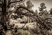 Splintered tree limbs hang on this scraggly old juniper tree in the Oregon Badlands Wilderness near the city of Bend