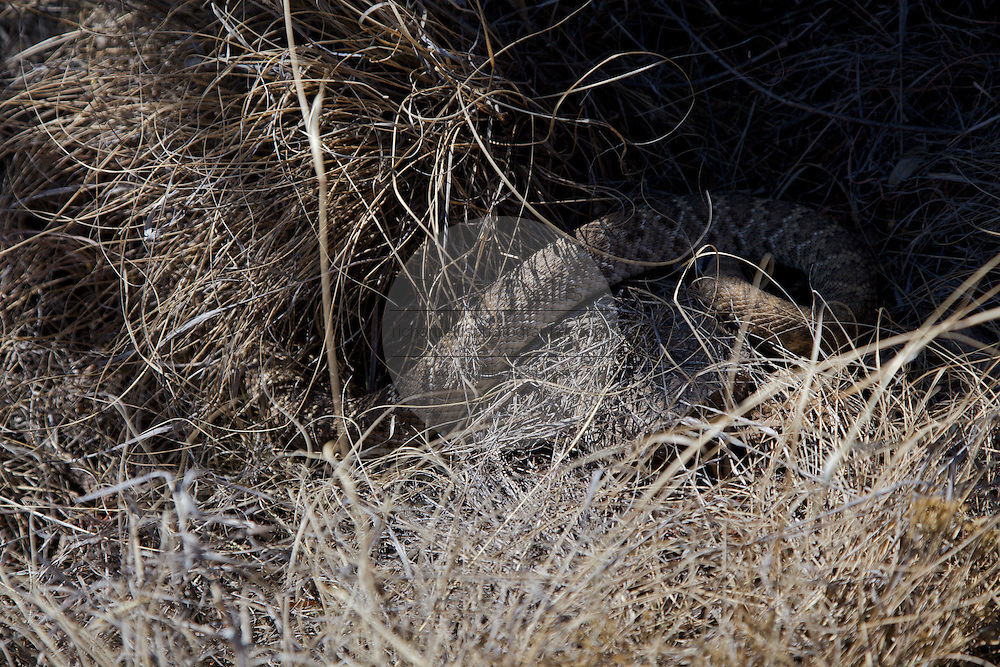 A western diamondback rattlesnake camouflaged in the grass in in the west Texas desert.