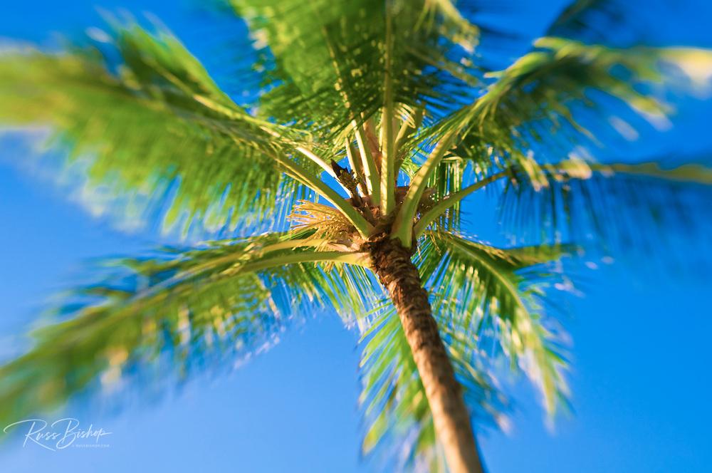 Coconut palm and blue sky, Island of Kauai, Hawaii