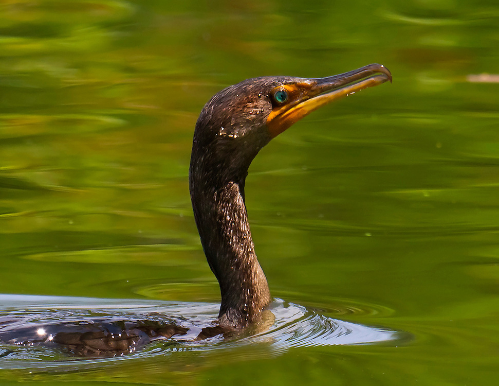 Same double crested cormorant as in the previous shot swimming in Prospect Park lake. They feed mostly on fish.
