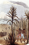 Slaves cultivating sugar cane in the West Indies. Hand-coloured wood engraving from Grandfather Grey 'The Wonders of Home' London, 1852.