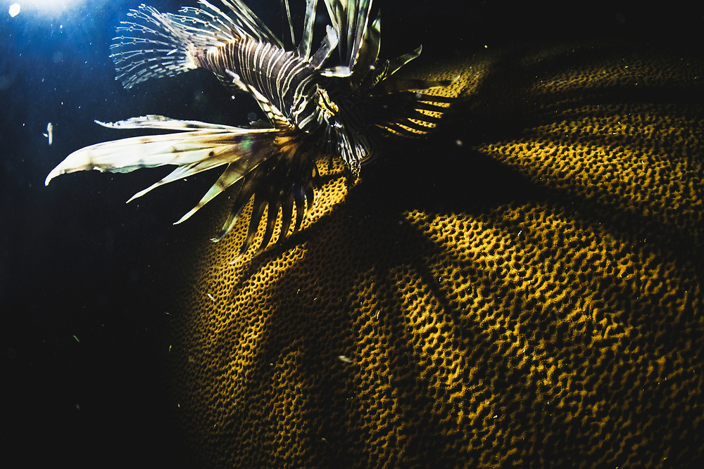 Lionfish cast a long shadow over the Caribbean's already struggling coral reefs.