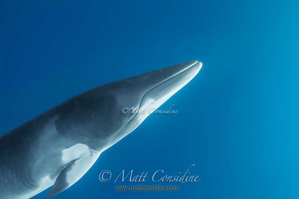 Minke coming up for air. (Photo by Wildlife Photographer Matt Considine)