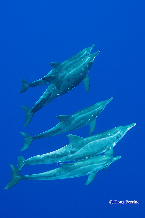 rough-toothed dolphin, Steno bredanensis, off Keauhou, Kona, Hawaii ( the Big Island ), Central Pacific Ocean