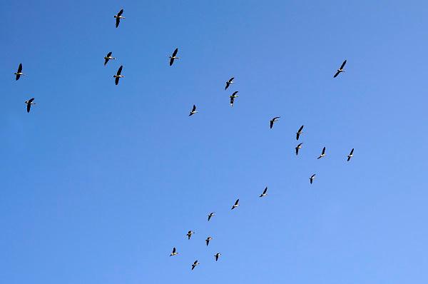 Nederland, Ubbergen, 16-11-2018Wilde ganzen in de Ooijpolder. Elk jaar overwinteren tienduizenden ganzen in de Gelderse Poort en de uiterwaarden langs de rivier de Waal. Zij voeden zich met gras, vaak tot ergernis van boeren, veehouders die hun vee in de lente en zomer buiten willen laten grazen. Ook zijn de vogels verspreiders van het vogelgriepvirus. Foto: Flip Franssen
