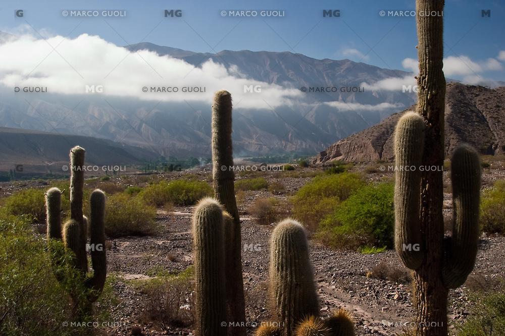 CARDONES (Trichocereus sp.), QUEBRADA DE HUMAHUACA, PROV. DE JUJUY, ARGENTINA