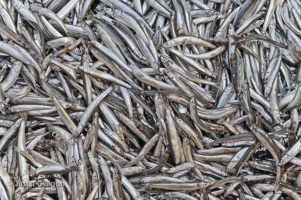 Freshly caught usipa at Cape Maclear, Lake Malawi, Malawi.