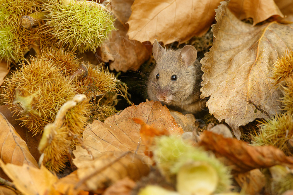 House Mouse (Mus musculus) adult feeding amongst autumn leaves, South Norfolk, UK. September.