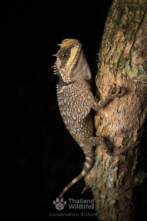 Cross-bearing Horned Lizard (Acanthosaura crucigera) in Kaeng Krachan national park, Thailand