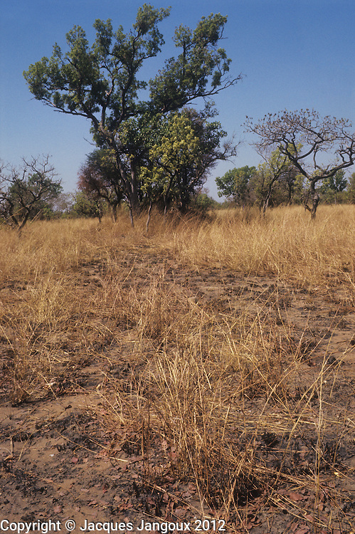 Savanna with dry grass during dry season, Manda National Park, Chad, Africa.