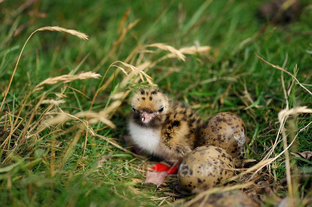 Arctic tern chick (Sterna paradisaea) on Hallig Nordstrandischmoor, North Frisian Islands on Schleswig-Holstein's Wadden Sea-North Sea coast; Germany | Küsten-Seeschwalbe, Küstenseeschwalbe, Küken, Jungvogel, Seeschwalbe, Sterna paradisaea, in der Salzwiese von Hallig Nordstrandischmoor, Deutschland