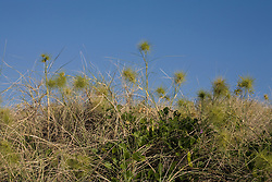 Beach Spinifex (Spinifex sericeus) on the sand dunes at Hall Point on the Kimberley coast.