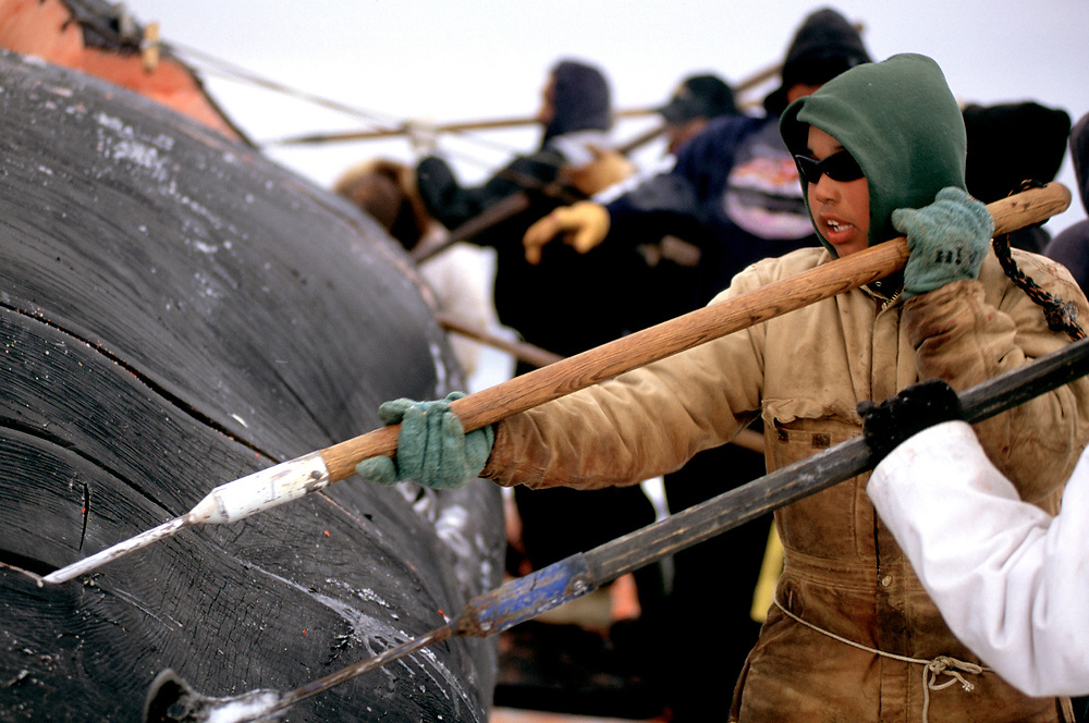 Barrow, Alaska, community members and whalers work together to harvest a bowhead whale carcass killed in the annual Alaska Naive hunt near Barrow