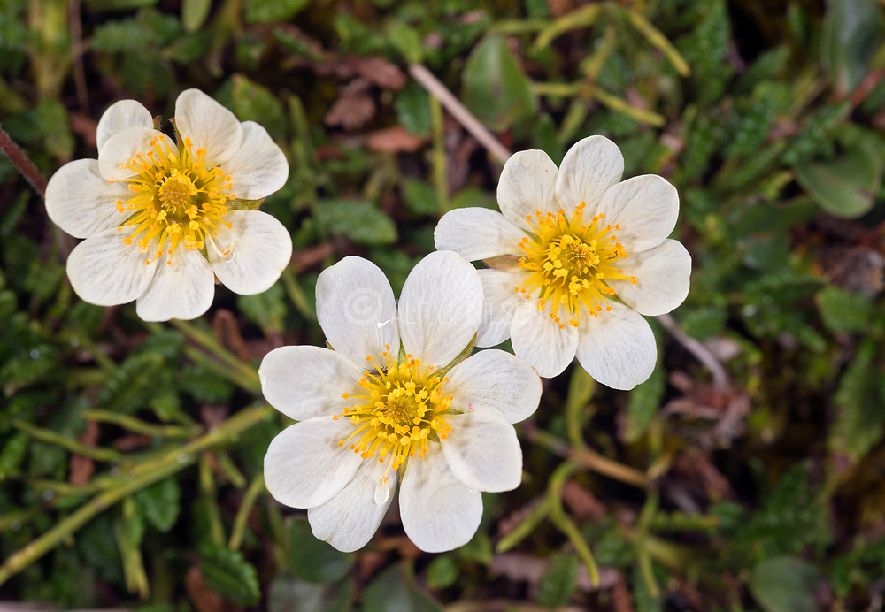Mountain avens, Dryas octopetala, from Adventdalen close to Lonyerabyen, Spitsbergen, in August 2012.