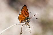 Lycaena gorgon - Gorgon Copper