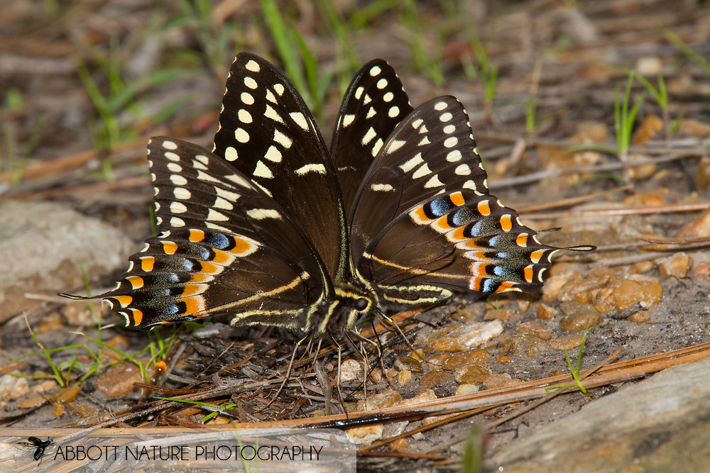 Palamedes Swallowtail (Papilio palamedes)<br /> LOUISIANA: Natchitoches Parish<br /> Middle Branch Bog; Kisatchie Ranger District of Kisatchie National Forest<br /> 6-April-2012<br /> J.C. Abbott #2574 &amp; K.K. Abbott