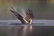Osprey (Pandion haliaeetus) fishing at dawn, Scotland.