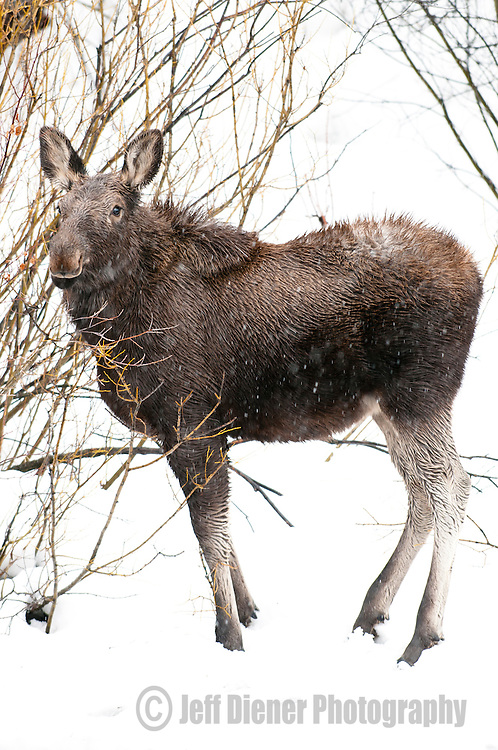 A moose forages for winter food during a snowstorm in Jackson Hole, Wyoming.